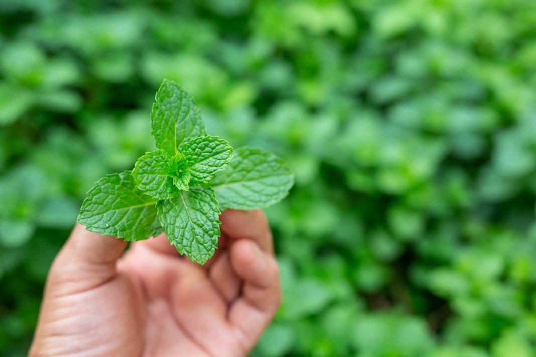 herbal medicine herbs as medicaments