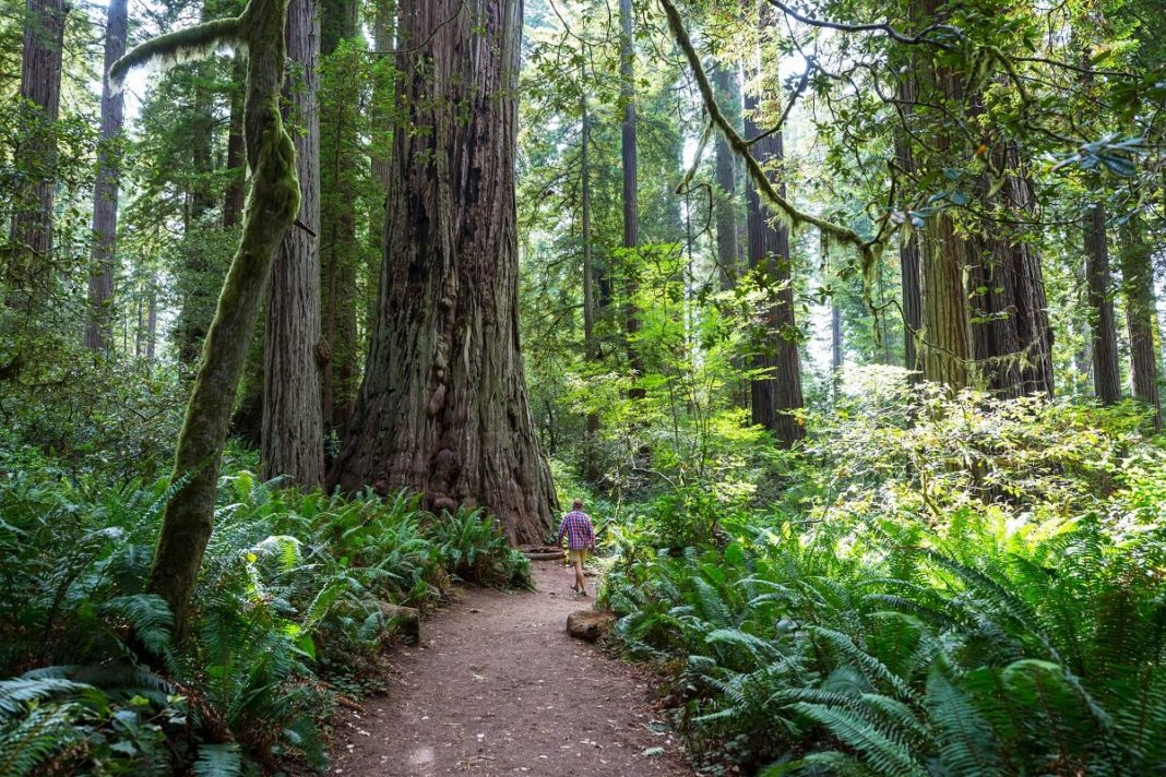 Giant sequoia trees in redwood national park california