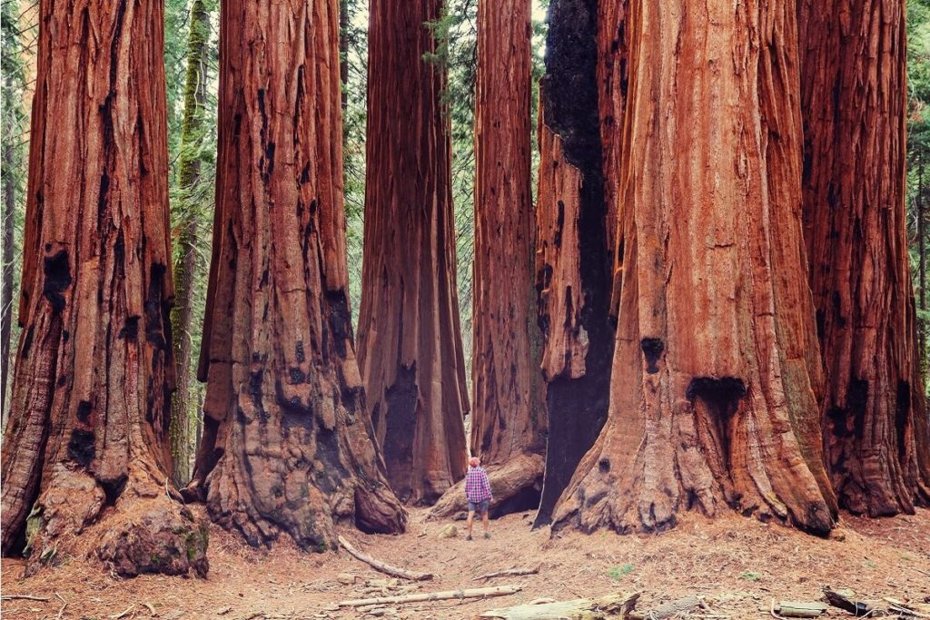 Giant tress in the NP Redwood in California (USA)