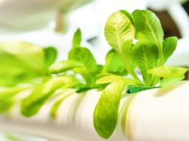 Hydroponic farming - warehouse agriculture is the future