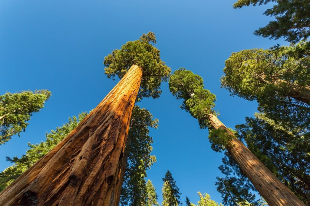 The tallest tree in the world is in the National Park Redwood in California USA