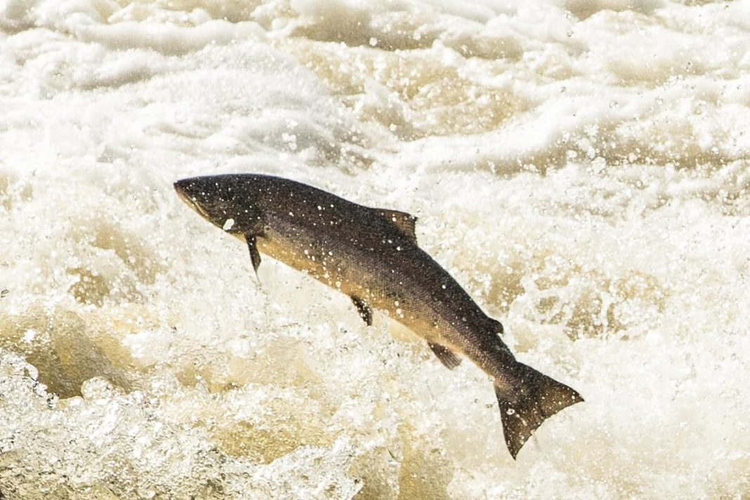 wild salmon vs farmed salmon which is better